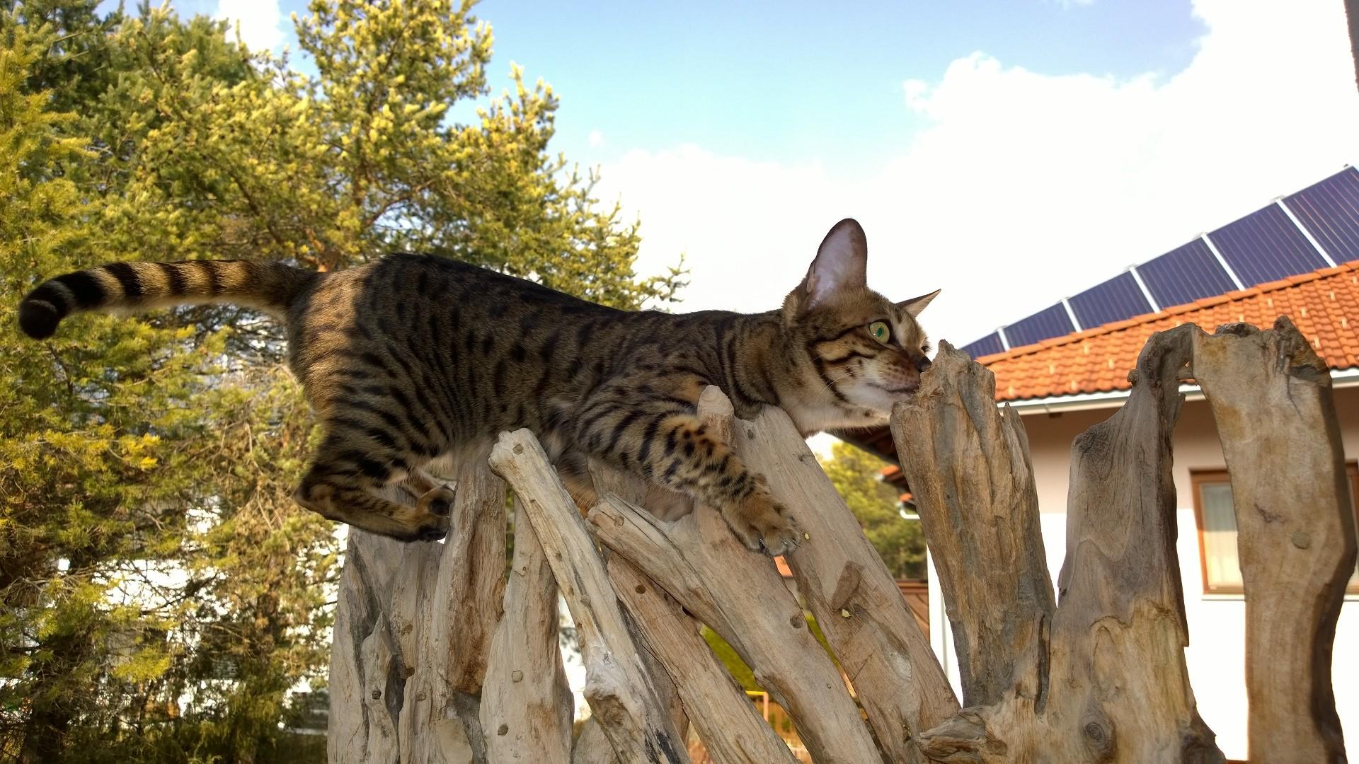 Fischis Panthy Savannah Cat